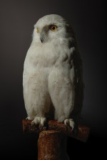 Still_Life_White_Owl